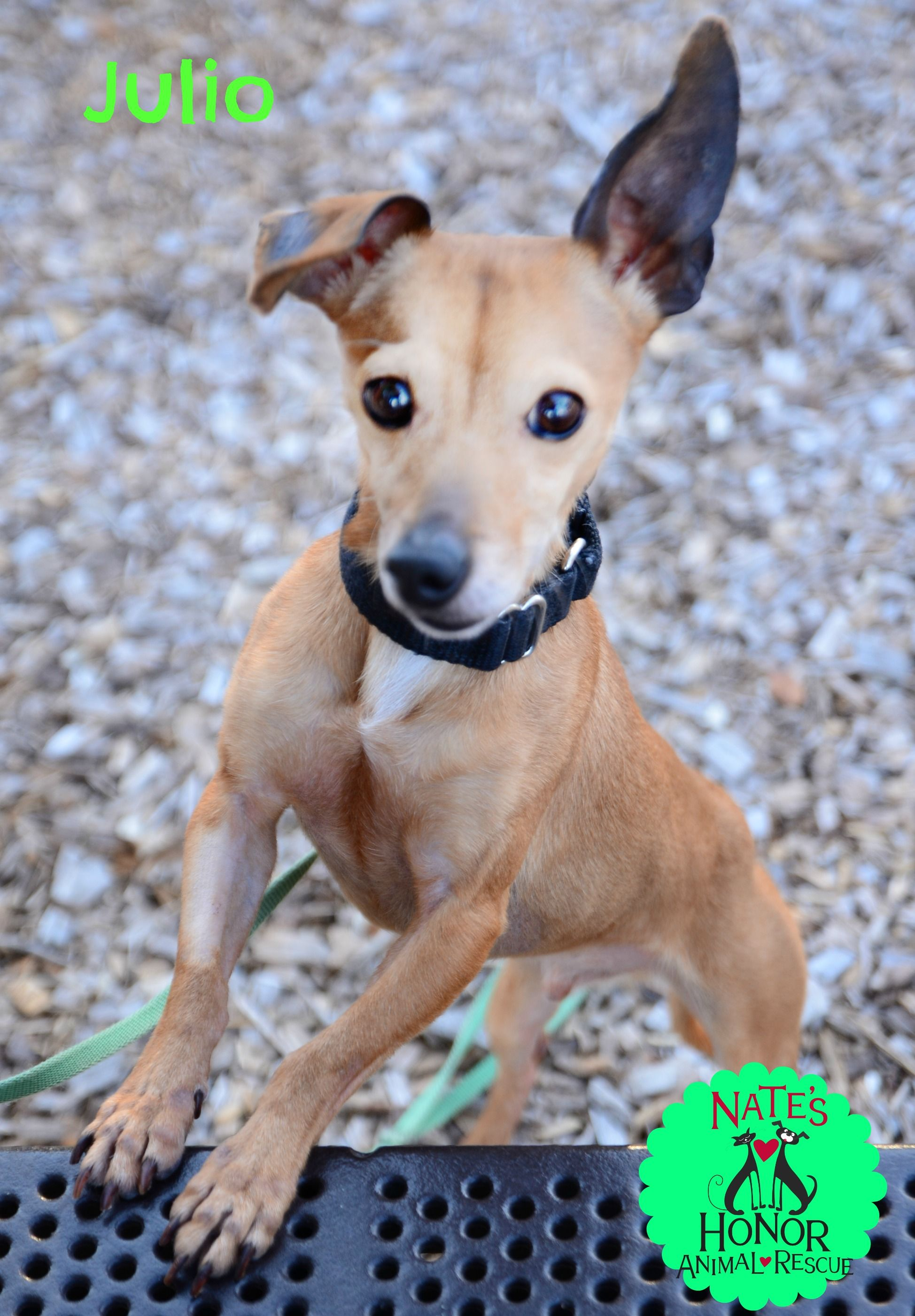 Italian Greyhuahua Dog For Adoption In Bradenton Fl Adn 514540