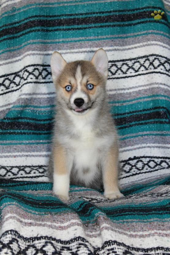 Hank Pomsky Puppy For Sale In Millersburg Oh Lancaster