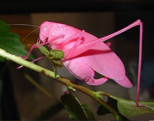 Grillo rosa