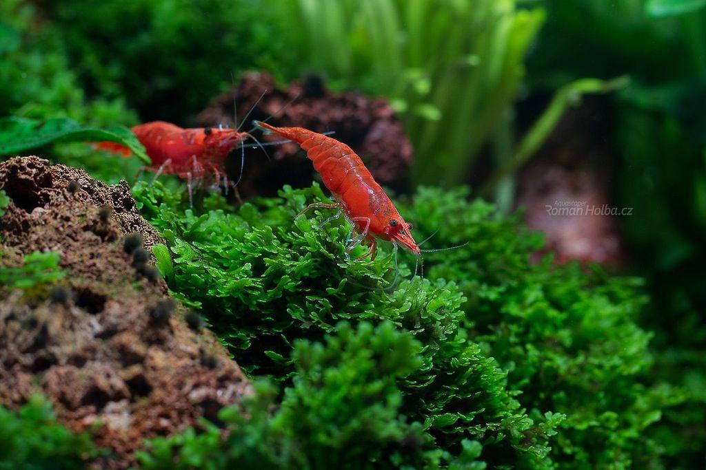 Live Aquarium Shrimps For Sale Ebay Live Aquarium Red Cherry Shrimp Freshwater Aquarium Fish