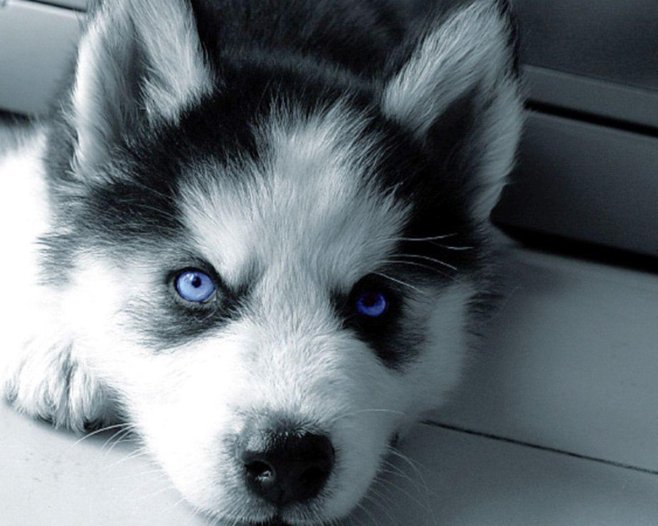 Blue Eyed White Syberian Husky Puppy Blue Husky Puppies Cute