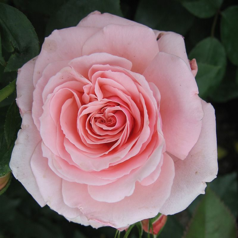 Rose Ars Rating 8 6 Pp6713 Zone 5 Flowers Medium Pink Ruffled Blooms Continuous Sets Buds And Blooms Throughout The Season Plants Floribunda Roses Rose