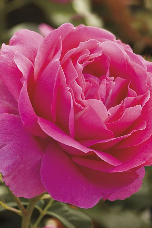Grande Dame Rose Bud