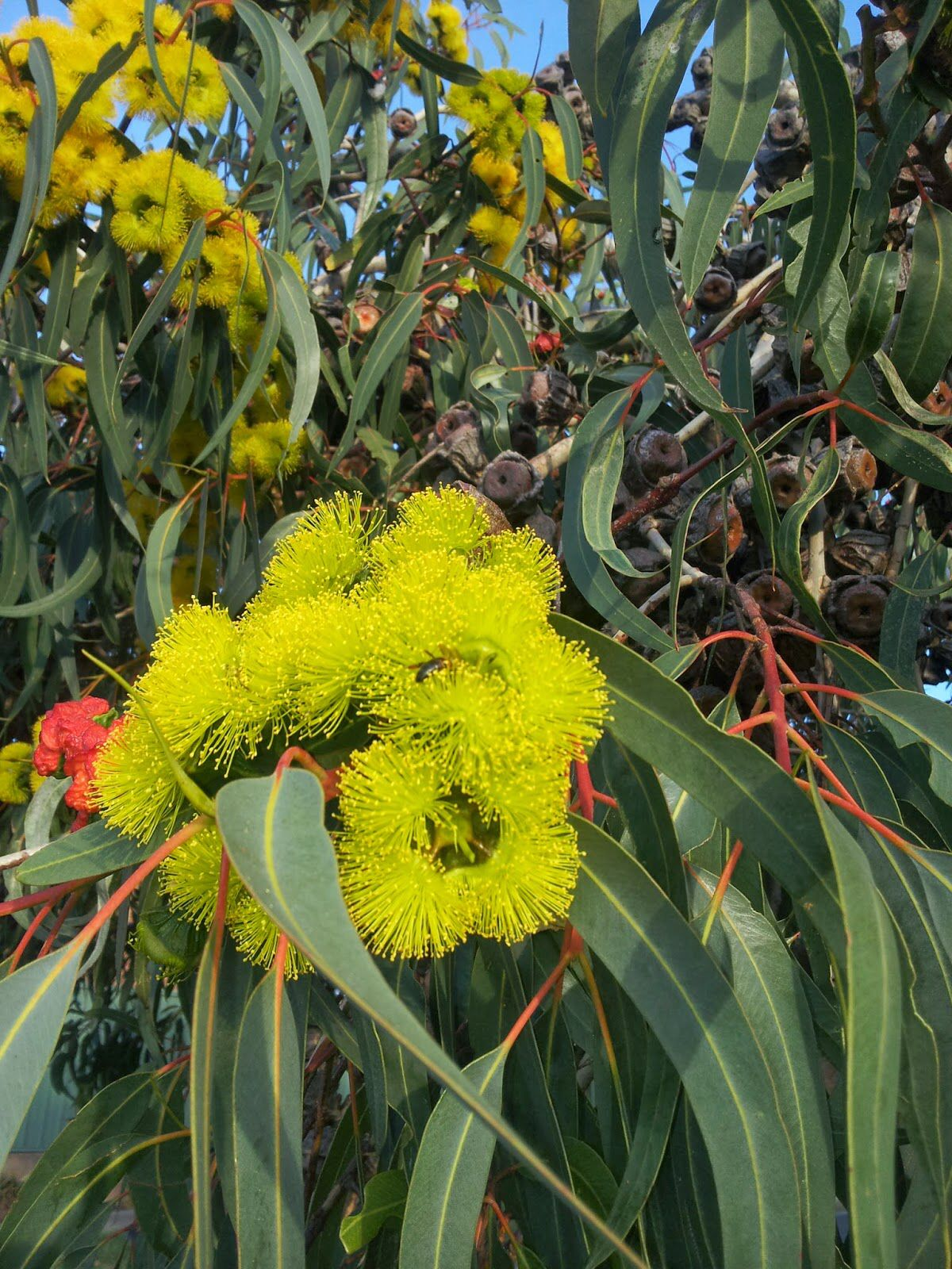 tasmanian eucalyptus exoticflowers exotic flowers t