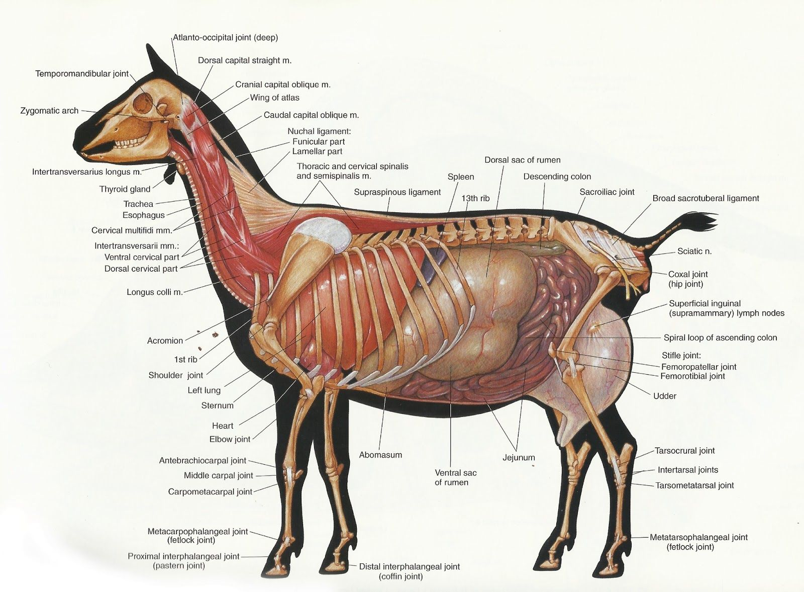 archer s acres search results for goat anatomy [ 1600 x 1177 Pixel ]
