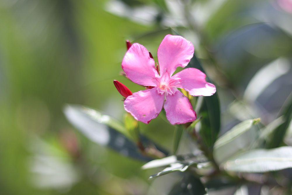 oleander zurück schneiden