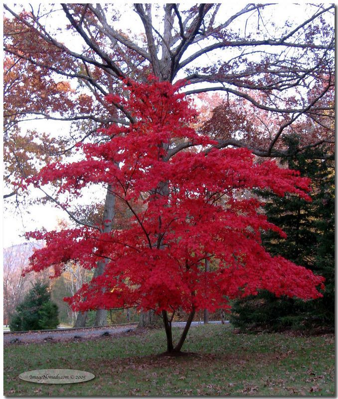 Japanese‑red‑maple Trees Japanese Red Maple Flowers