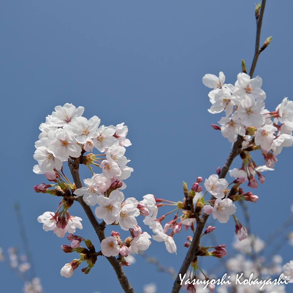Between our two lives there is also the life of the cherry blossom ~ Bashō Matsuo Photo @8270chihaya