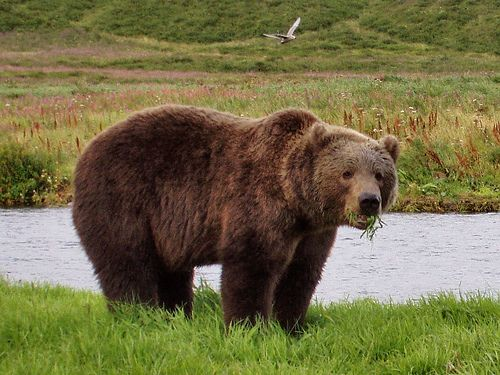 Grizzly bear eating grass