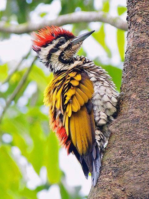 Flamebacks or Goldenbacks. These large woodpeckers live in ...