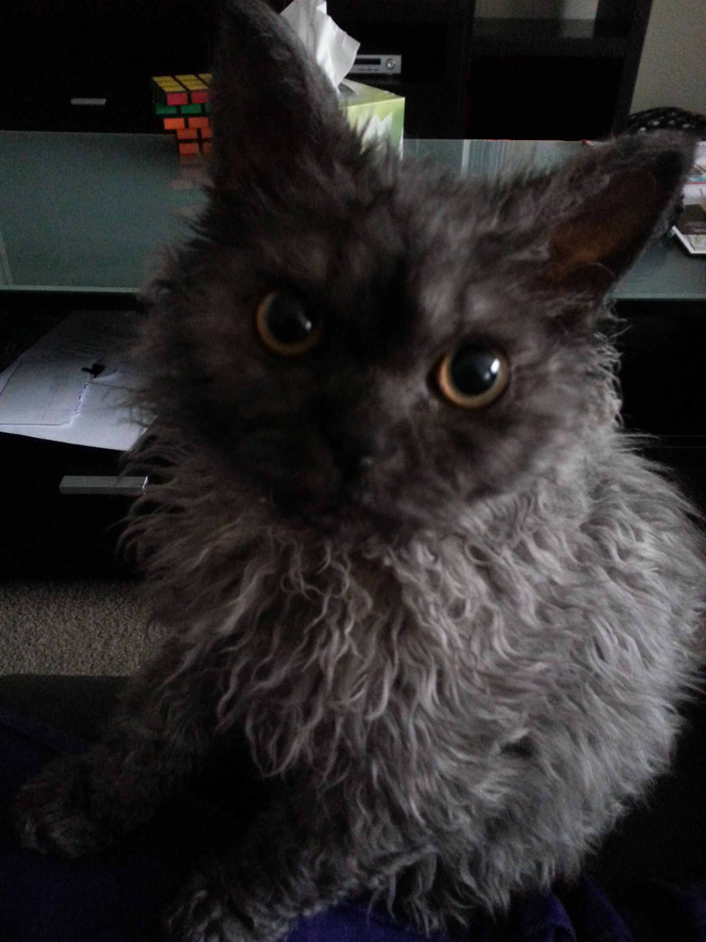Riley The Selkirk Rex Cat Fur Rex Cat Cat Breeds
