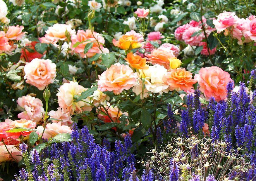 buntes rosenbeet mit steppensalbei garden pinterest rosenbeet bunt und leben unter freiem. Black Bedroom Furniture Sets. Home Design Ideas