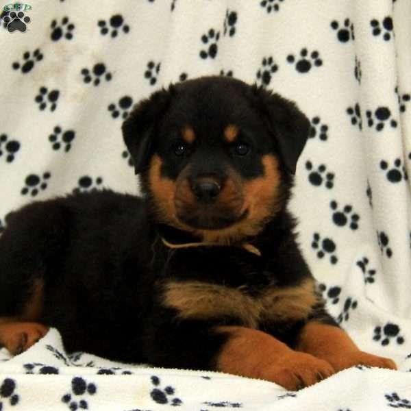 Falkner Rottweiler Puppy For Sale In Pennsylvania Rottweiler