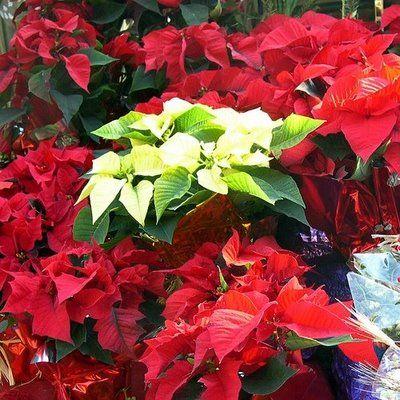 Plants Are The Strangest People Houseplant Toxicity Week Appendix 1 Euphorbia Pulcherrima Poinsettia Plant Poinsettia Plants