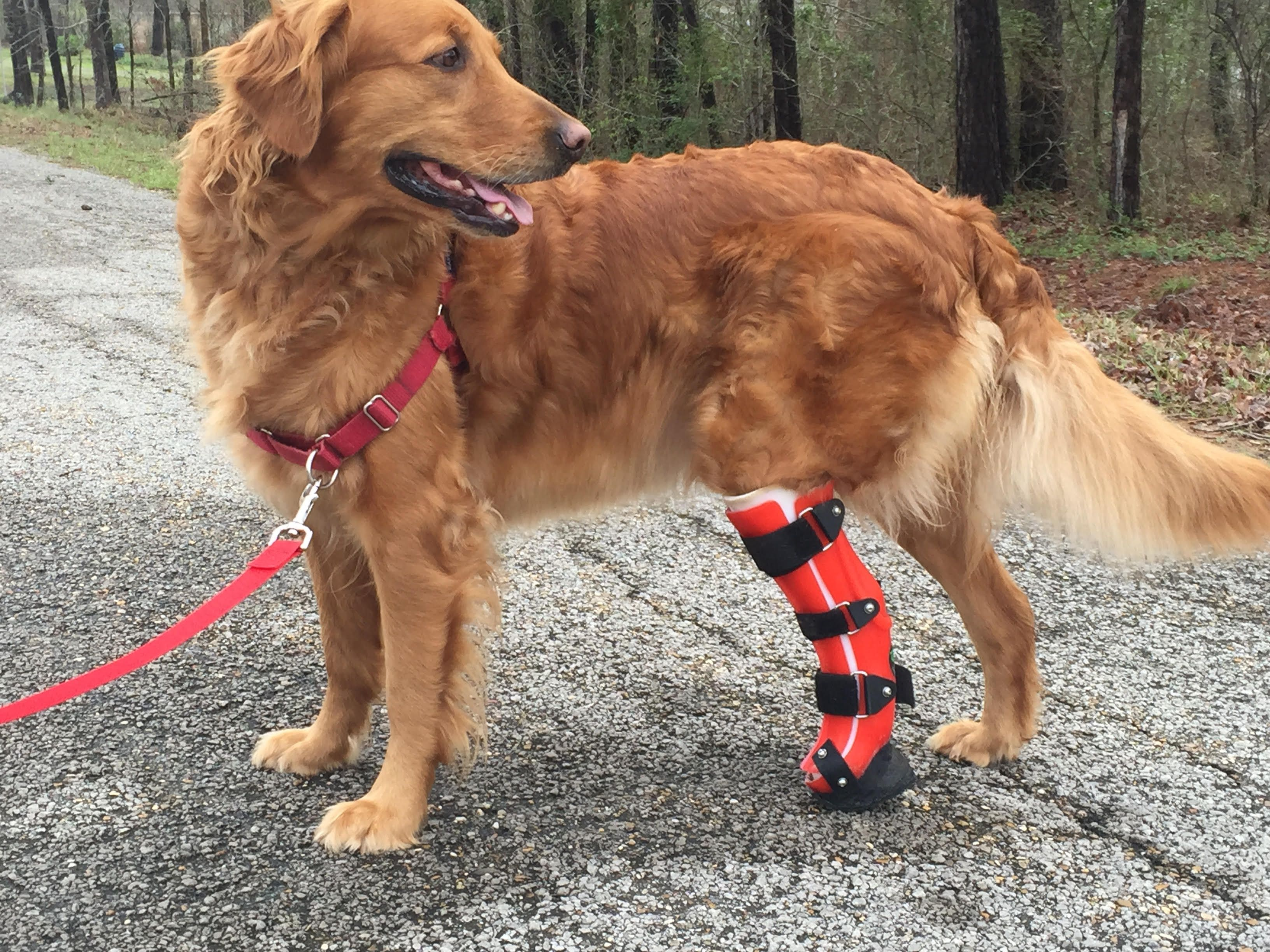 Meet Finley Finley Is A 5 Year Old Golden Retriever That Suffered