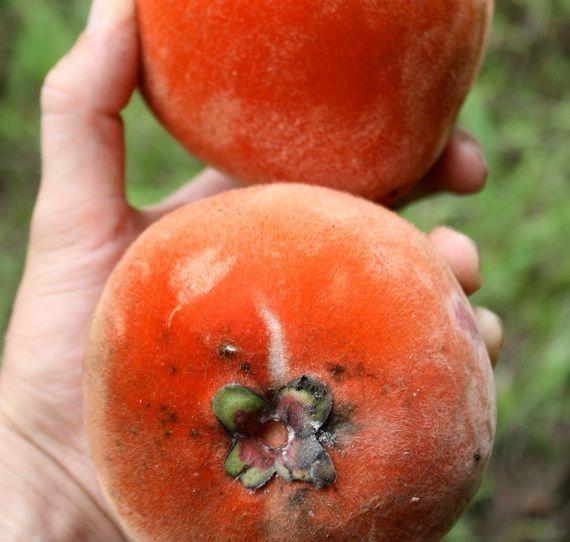 Tanaman Bisbul (Mabolo / Velvet Apple)   Tanaman Buah   Pinterest ...