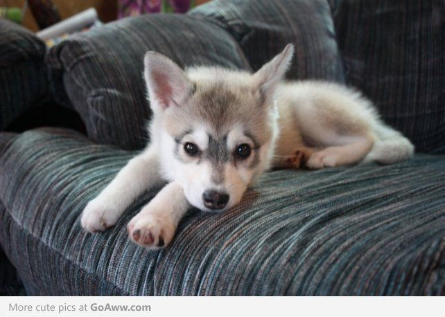 Try Saying No To This Face Mini Husky I Want One Miniature