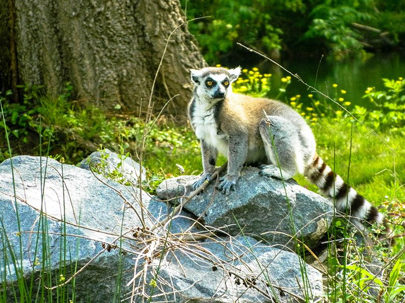 Ringtailed Lemur Louisiana Purchase Gardens Zoo Zoo Lemur Louisiana Purchase