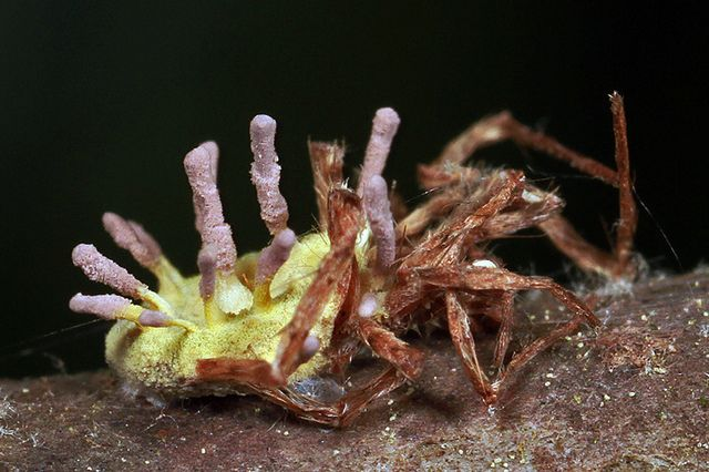 fungus infected spider