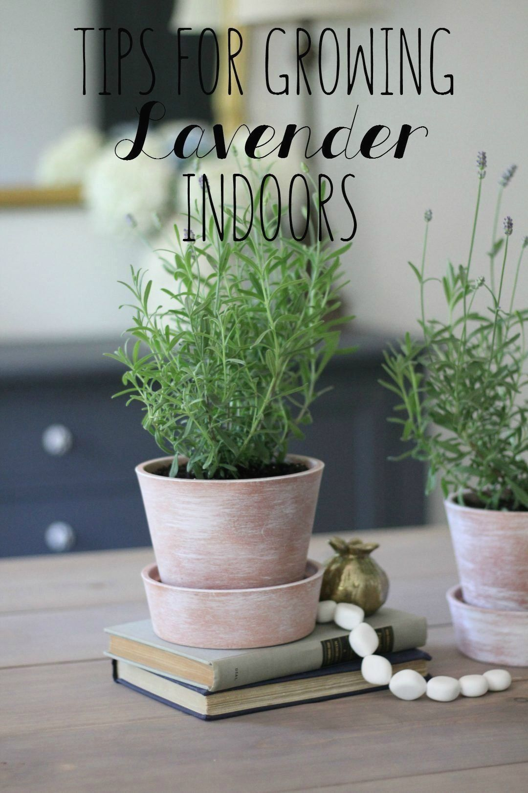 Easy tips for growing lavender indoors whitewashing how
