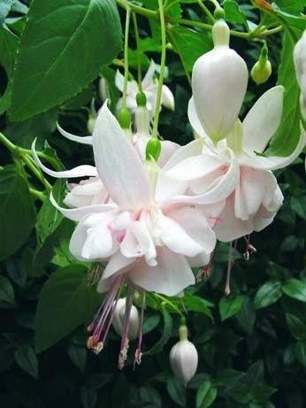 Fuchsia Flowers | Visit kwekerijgommer.com