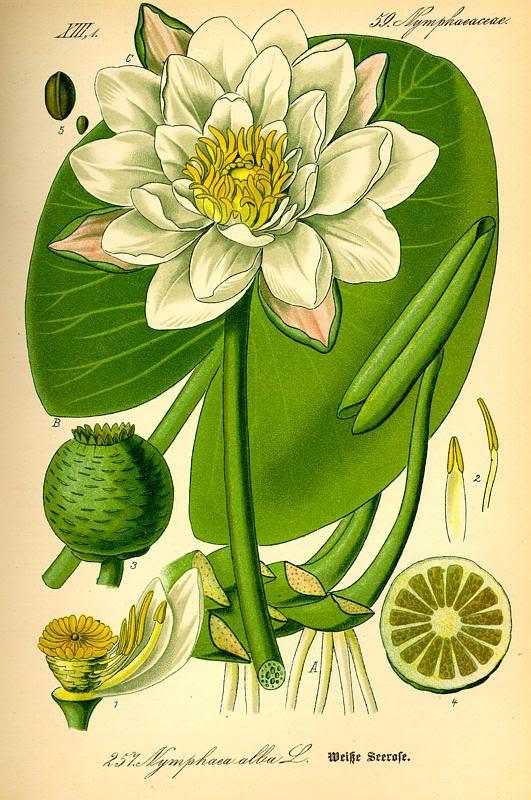 Anatomy of a waterlily. | Flora - Outside & Garden | Pinterest ...