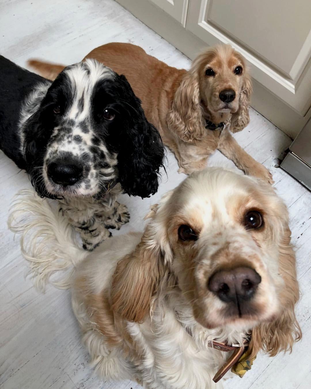 Dogs cocker spaniel