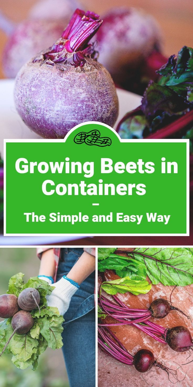 Beet crazy everything you need to know about how to grow