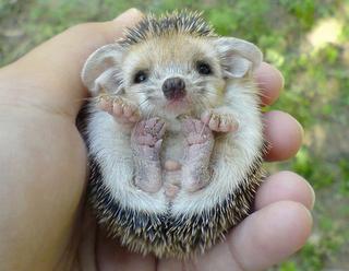 I Spy Animals Hedgehogs As Pets Cute Animals Baby Hedgehog Animals