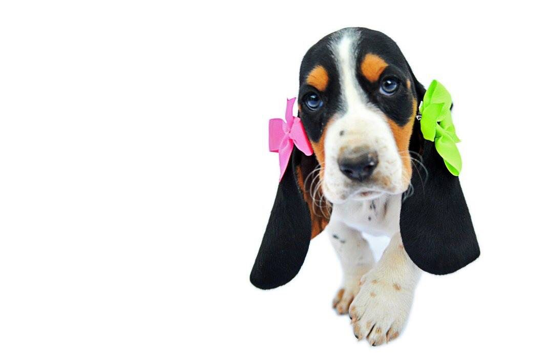 Basset Hound Dogs For Sale In Texas References