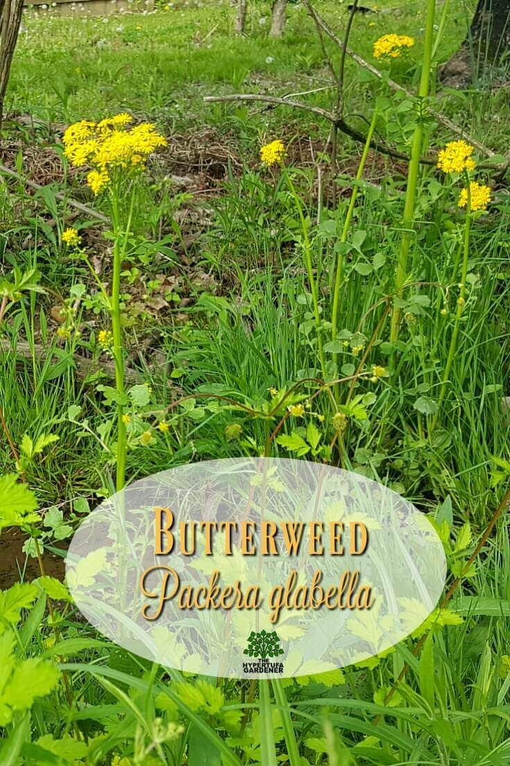 Gorgeous Butterweed Shes The Devil In Disguise Weeds And Pests