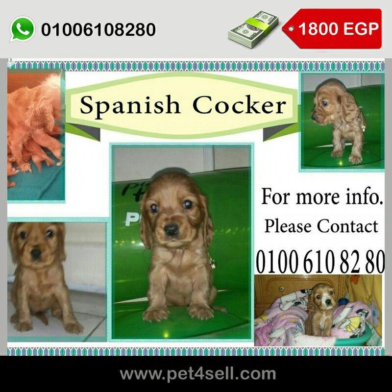 Spanish cocker Trained to pee on wallpaper Cairo pet4sell