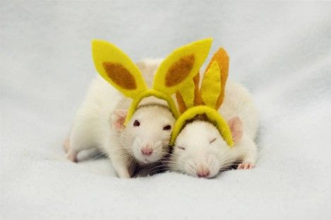 adorable-rat-pictures-2