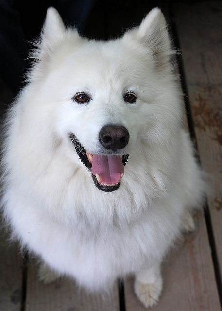I Wish Had The Time And Apartment E For A Dog Like This Samoyed