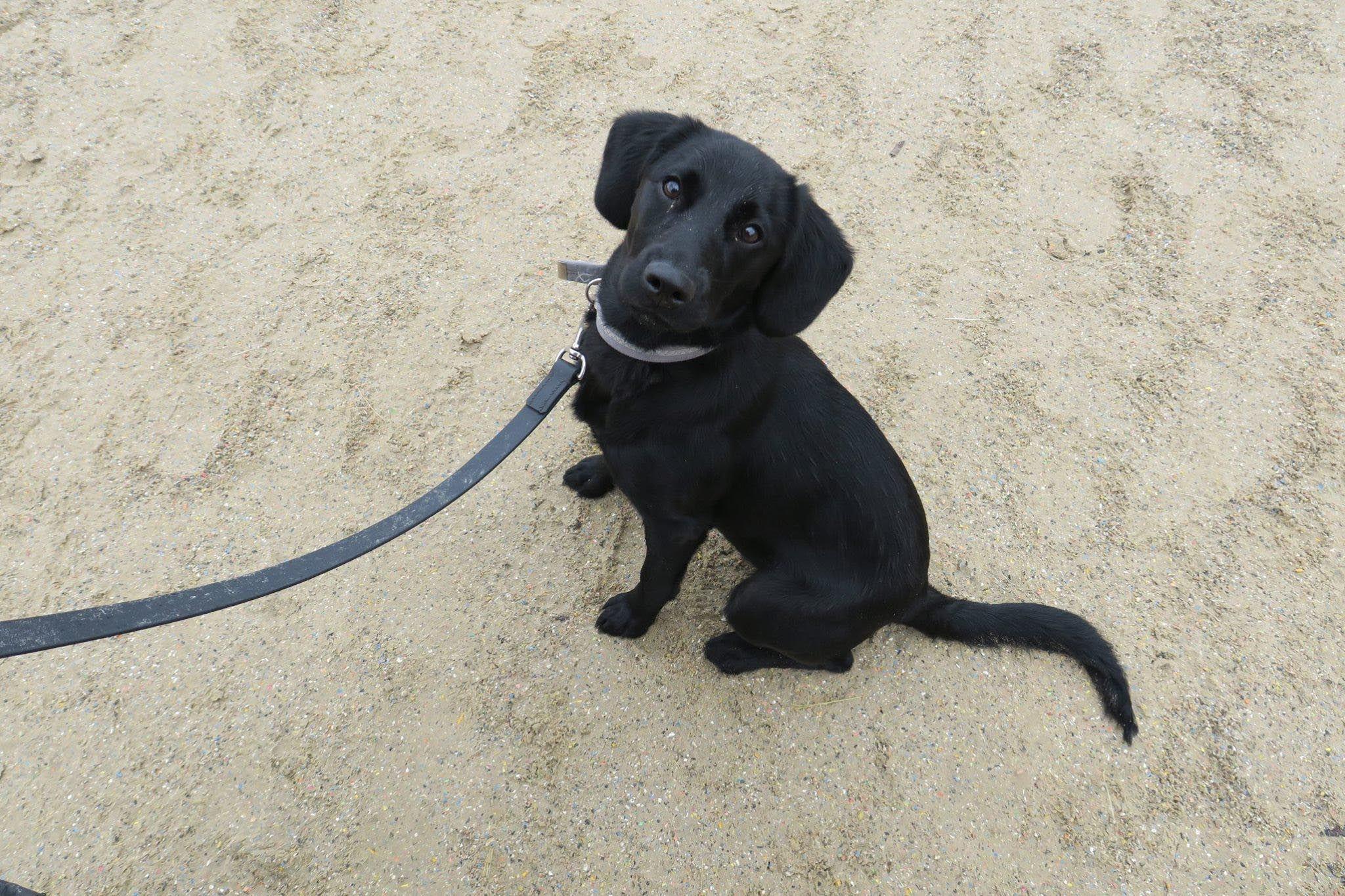 Cocker Spaniel X Labrador Dog Breed Information Dog Breeds Labrador Dog Labrador Dog Breed