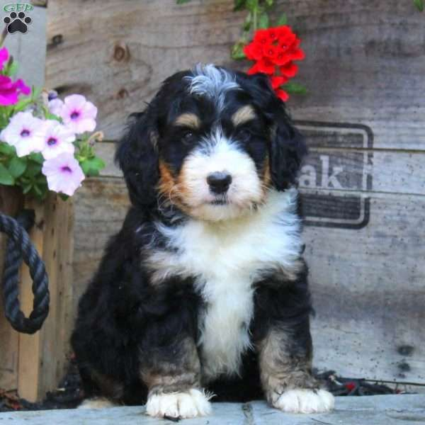 Indiana Bernedoodle Miniature Puppy For Sale In Pennsylvania