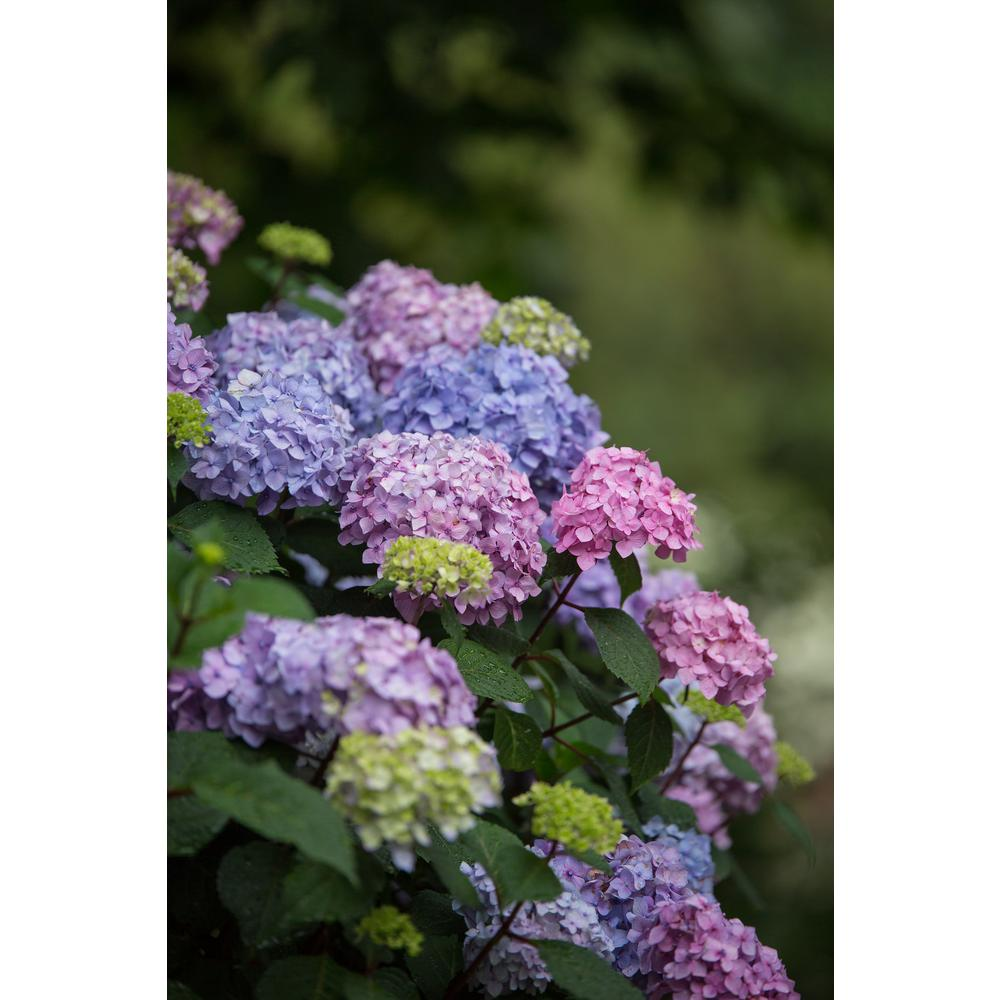 Endless Summer Endless Summer 1 Gal Bloomstruck Hydrangea Plant With Pink And Purple Flowers 12676 The Home Depot In 2020 Bloomstruck Hydrangea Planting Hydrangeas Partial Shade Flowers