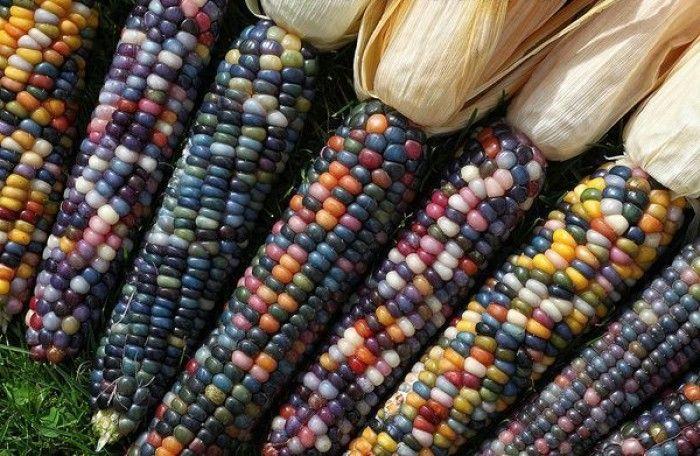 Have You Seen These Multicolored Edible Corns Corn Rainbow Corn
