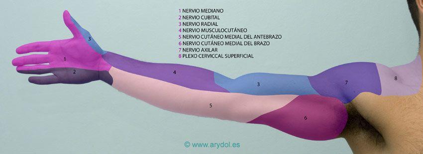 Arydol Anatomía Del Plexo Braquial Plexo Braquial Anatomía Musculo Biceps Braquial