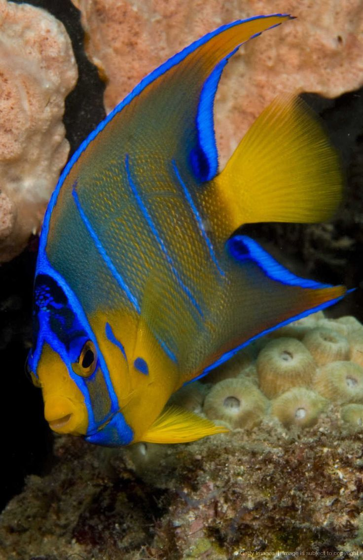 18 Different Types Of Angelfish To Consider For Your Freshwater Fish Tank Angel Fish Sea Creatures Sea Fish