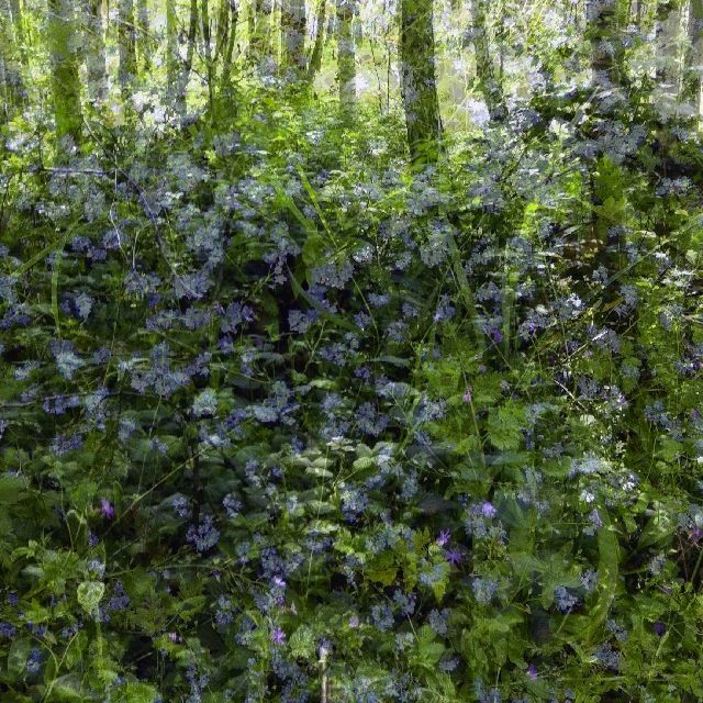 Tubney Wood nr Abingdon and Deb's forgetmenots