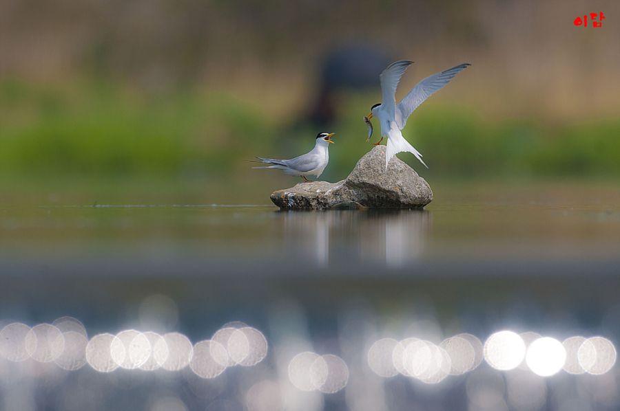 a little tern by B . K . Ahn - Photo 145148509 - 500px