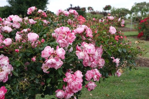 Carpet Rose Pink Splash These Cute Disease Resistant Roses Are Lovely In Their Stripes Light Pink Flowers Ground Cover Roses Disease Resistant Roses