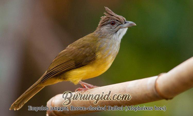 Empuloh Janggut Brown Cheeked Bulbul Alophoixus Bres Janggut Burung Jenis