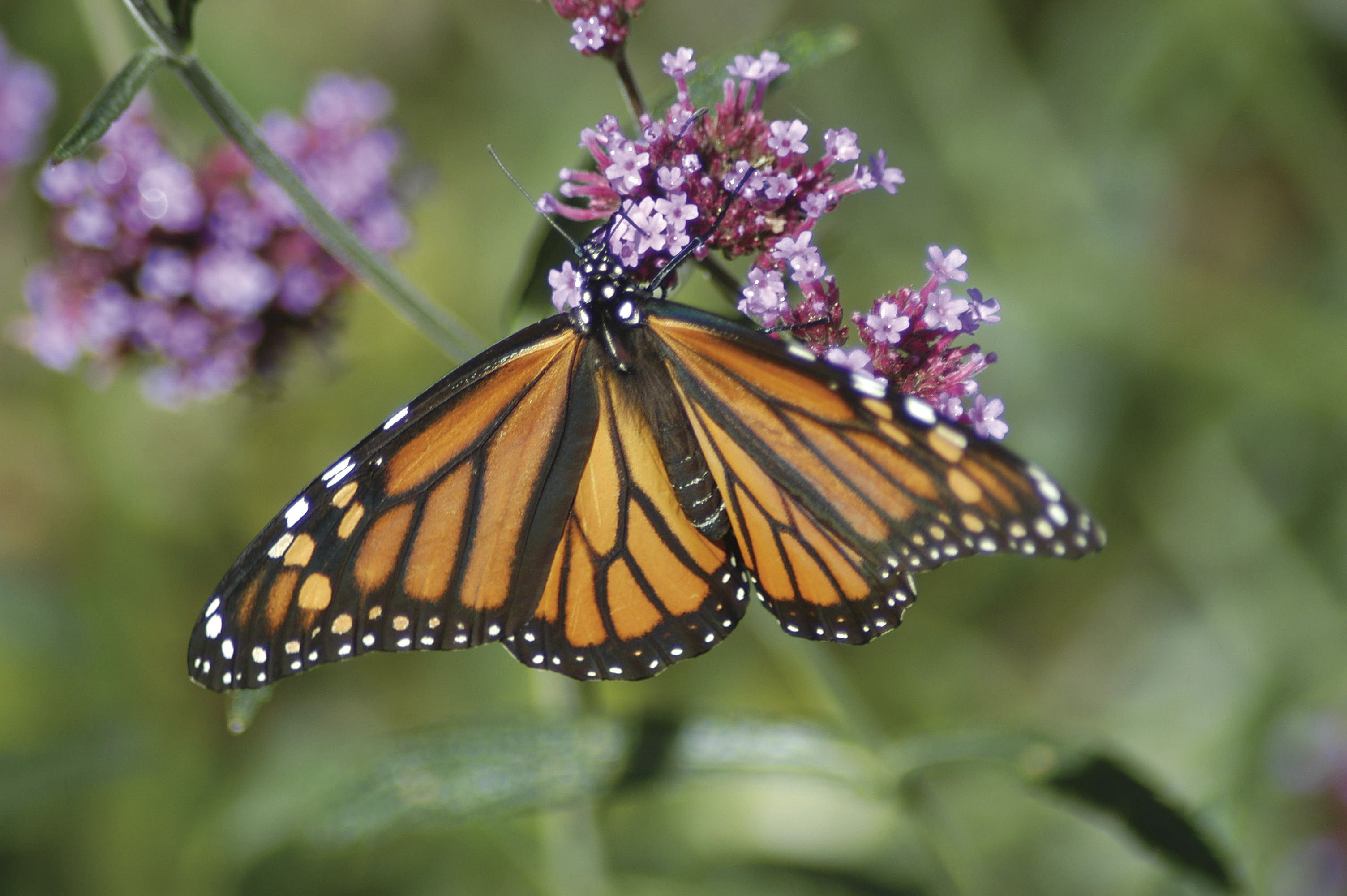 A true classic a monarch! Diane Wilson. Butterfly house