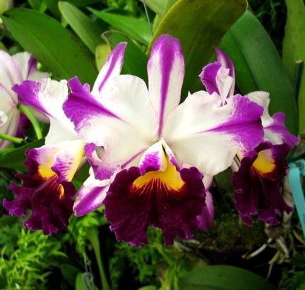 Cleo Stars Stripes Cattleya Orchid Beautiful Orchids Orchids Garden
