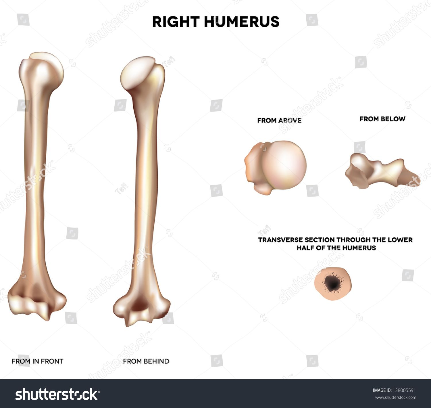 Humerus Upper Arm Bone Detailed Medical Illustration From Front