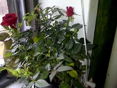 Grow Roses From Seed Growing Roses Rose Seeds Planting Roses