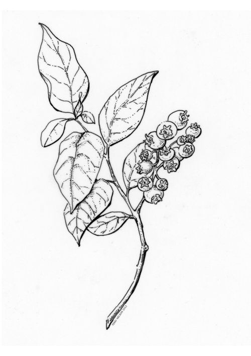 Line Drawing Poster : Line drawing blueberry google search tattoo