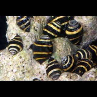 Bumble Bee Snail Engina Sp Buy 1 Get 1 Free Reefs2go Com Saltwater Aquarium Fish Saltwater Aquarium Aquarium Snails